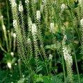 Hierba natural extracto de cohosh negro p. E.