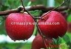 fresh red gala