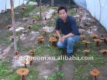 reishi extract,Ganoderma lucidum;lingzhi mushroom