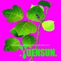 Halal radix puerariae extrato/lobed raiz kudzuvine extrato/isoflavona 98%, 99% uv