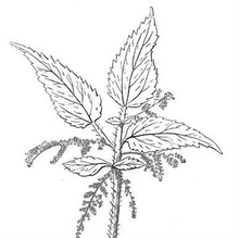 Stinging Nettle Leaf/Root P.E.1% 1.5% organic Silica HPLC