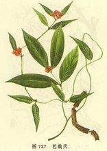 Morinda officinalis How Extract