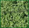 Thyme Extract Thymol 20% 30% HPLC
