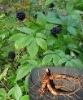 High Quality Siberian Ginseng P E