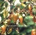 De graines de Griffonia pe