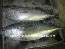 Yellow fin skipjack tuna