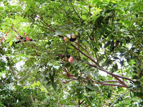 Tree Seeds Marathi Kari
