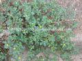 Portulaca oleracea/portulacaceae/portulaca/portulaca/amaranto/ma chi xian/munyeroo/Portulaca/pusley/pussly