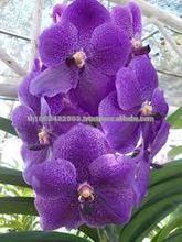 vanda orchids plants