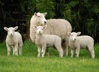 Mutton Premium Quality Halal (Irish)