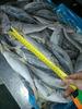 Frozen Pacific Horse mackerel Whole Round Trachurus japonicus