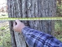 Walnut logs