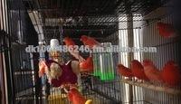 Live Canary Birds