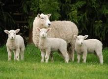 Mutton Halal