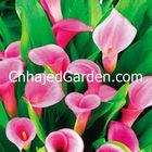 Calla-Lily DEEP-PINK flower bulbs