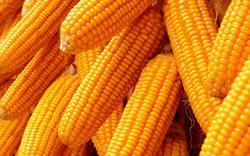 Maize Exporter