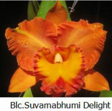 Cattaleya Orchid Blc Suvamabhumi Delight.png