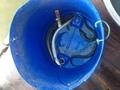 anguilla pesce