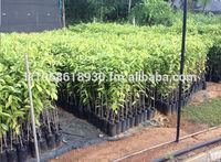 Agarwood Grow Your Own Agarwood Plantation