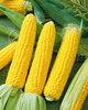 Human consumption Yellow maize Sweet Corn Maize 100% high quality Yellow Maize YELLOW CORN ,MAIZE,YELLOW MAIZE