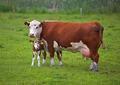 les vaches de la vente à bas prix du bétail