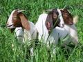 Direct. chèvres boer, chèvres saanen, askanian chèvres pour la vente