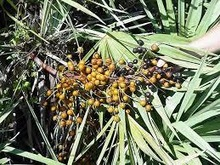Saw Palmetto P.E. /CAS NO:61788-66