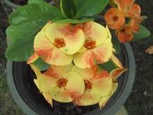Euphorbia Milii (Siraya), Euphorbia Lactea, Adenium, Agloanema, Orquideas...