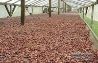 FA Fermentation Qulaity Cocoa Beans