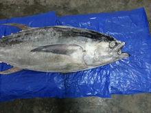 Yellowfin And Skipjack Tuna