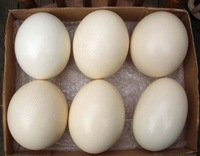 Fresh Fertile Ostrich Eggs