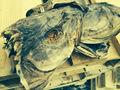 Bacalao cabezas de pescado