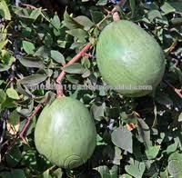 Vilvam/Koovalam/Aegle marmelos/bael fruit/Sirphal/maja/Bael occurs /