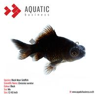 Black Moor Goldfish, Ornamental Aquarium Fish Exporter