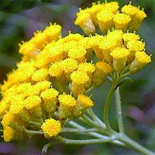 Immortelle essential oil (Helichrysum italicum)