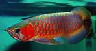 chili red arowana fish for sale best price with tank