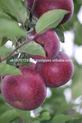 Fresh apple/Apple/Golden delicious apple