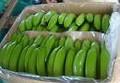 verde fresco de banano cavendish para vender