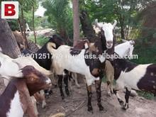 Bulk goats , Wholesale live goat , Livestock exporter , Goat price
