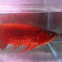 Aquarium Products , Flowerhorn Fish , Golden Arowana , Albino stingrays on PROMO