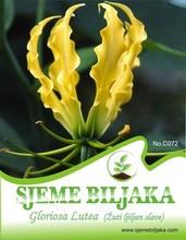 "Yellow Glory Lily ""Gloriosa Lutea"" - 5 seeds"