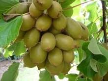 Hayward Green Organic Kiwi Fruit