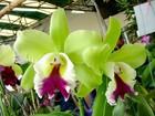 cattleya orchids plants