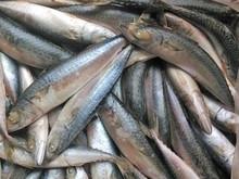 hortse mackerel
