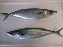 Blue Mackerel Fish