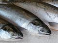 Tươi và đông lạnh Atlantic Salmon h/đèn O đầu vào | Salmo salar Gutted | Norwegian Salmon