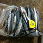 mackerel japanese fish mackerel frozen fish