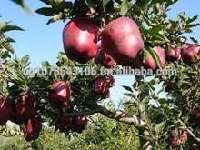 Fresh Apple / fresh Huaniu