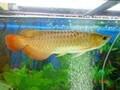 top qualidade de ouro peixe arowana