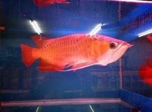 Malaysian Golden Arowana / Red Back Gold Arowana / Red Dragon Arowana Fishes